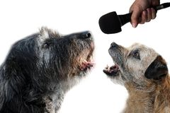 Let us sing  a duet together. Lets sing together, border terrier and big black mongrel dog practice  singing in microphone. They want to become pop stars Stock Photo