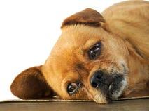 Letargia do Doggy foto de stock
