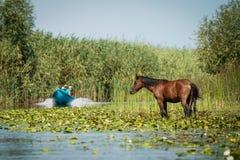 Letea Wild Horses in Danube Delta Romania. Letea Horses in Danube Delta Romania royalty free stock images