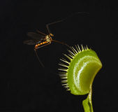 Lethal trap. Giant mosquito entrap in leaf of carnivorous plant dionaea Stock Photography