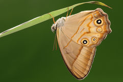 Lethe syrcis/male/butterfly Stock Photography