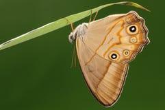 Lethe syrcis/manlig/fjäril Arkivbild