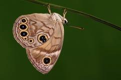 Lethe trimacula/manlig/fjäril Arkivfoto
