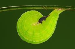 Lethe trimacula/Puppen der Basisrecheneinheit, grün Lizenzfreies Stockfoto