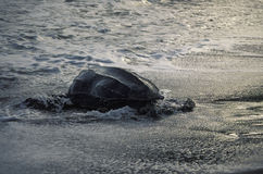 Letherback sea turtle going into the ocean. Stock Photos