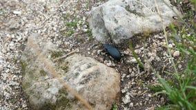 Lethifera de Blaps del escarabajo almacen de video