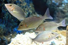 Lethrinus lentjan Stock Photos