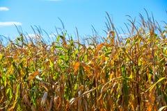 Letni dzień podkreśla rolniczego pole który r w starannych rzędach, wysoka, dojrzała, żółta, słodka kukurudza, Zdjęcie Royalty Free