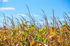 Letni dzień podkreśla rolniczego pole który r w starannych rzędach, wysoka, dojrzała, żółta, słodka kukurudza, Obrazy Royalty Free
