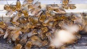 Letnut com abelhas em uma colmeia vídeos de arquivo