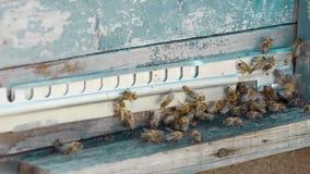 Letnut met bijen in een bijenkorf stock videobeelden