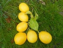 Letra L limones del alfabeto en hierba Foto de archivo