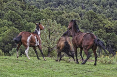 Lets Get Moving. Horses playing in a field just outside of Boulder Utah USA Stock Photo