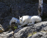 Lets just rest. Mountain Goat Kids resting in the shade of the rock cliff Stock Photography