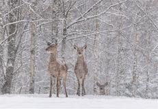 Lets It Snow: Two Snow-Covered Red Deer  Cervidae  Stand On The Outskirts Of A Snow-Covered Birch Forest.Two Female Noble Deer. Royalty Free Stock Photography
