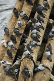 Lets stick together. Pigeons huddled together on some logs in a running stream Royalty Free Stock Photo