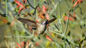 Lets Tango. A hummingbird in flight. Dancing in the air Royalty Free Stock Photography