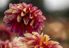 Lettend op de dahlia's groei in de wildernis Royalty-vrije Stock Fotografie