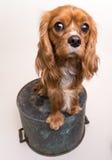 Lettend op u - Arrogante Koning Charles Spaniel Puppy Royalty-vrije Stock Afbeeldingen
