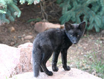 Lettende op zwarte vosuitrusting Royalty-vrije Stock Foto