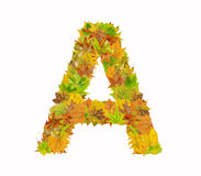 The letter A of alphabet made of autumn leaves Stock Photography