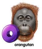 A letter O for orangutan Stock Images