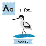 A letter tracing. Avocet. Stock Images
