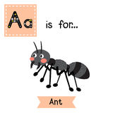 A letter tracing. Black ant. Cute children zoo alphabet flash card. Funny cartoon animal. Kids abc education. Learning English vocabulary. Vector illustration Royalty Free Stock Images