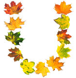 Letter U composed of autumn maple leafs Stock Images