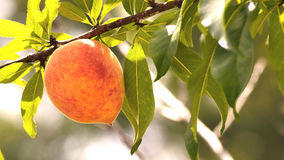 Letterbox image of one peach on a peach tree Royalty Free Stock Image