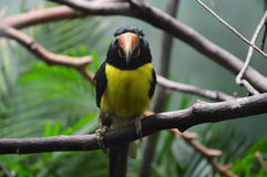 Lettered Aracari in Prospect Park Zoo, New York Royalty Free Stock Photos