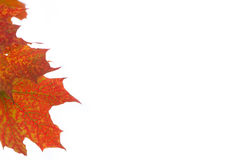 Letterhead with maple leaves Stock Image