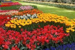 Letti dei tulipani. Fotografie Stock