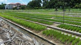 Letti della scuola materna nella coltivazione del riso nell'agricoltura immagine stock