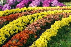 Letti di fiore con i crisantemi variopinti Parco a Kiev, Ucraina Fotografia Stock
