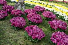 Letti di fiore con i crisantemi variopinti Parco a Kiev, Ucraina Immagini Stock Libere da Diritti