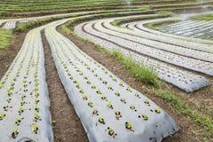 Letti di lattuce verde Fotografia Stock