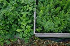 Letti vegatable alzati con veg verde che cresce proteggente dalla maglia immagini stock libere da diritti