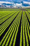 lettice行 库存图片