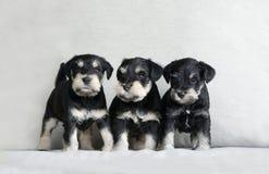 Lettiera dei cuccioli dello schnauzer Fotografie Stock