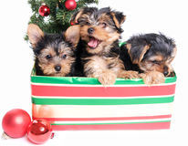 Lettiera dei cuccioli svegli di Yorkie in un contenitore di regalo per il Natale Fotografia Stock