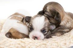 Lettiera dolce dei cuccioli della chihuahua Fotografia Stock