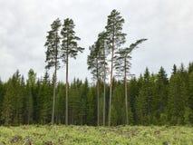 Lettisk natur Olik ålderskog Royaltyfri Bild