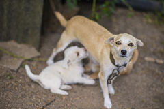 Lettle dog nursing puppy Royalty Free Stock Photography