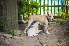 Little dog nursing puppy Stock Images
