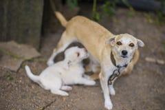Lettle psa karmiący szczeniak Fotografia Royalty Free