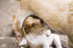 Lettle psa karmiący szczeniak Obraz Royalty Free