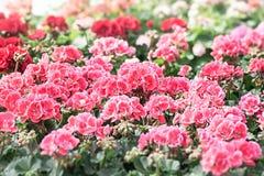Letto dei fiori reali del pelargonium Fotografia Stock