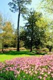 Letto dei tulipani rosa in parco Fotografia Stock Libera da Diritti