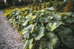 Letto del giardino con i cespugli delle zucche e delle zucche fotografia stock
